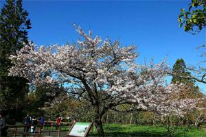 櫻花季前 先來阿里山攝手小旅行