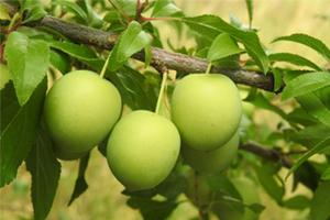跟著家樂福旅遊及1111台灣行採梅製梅